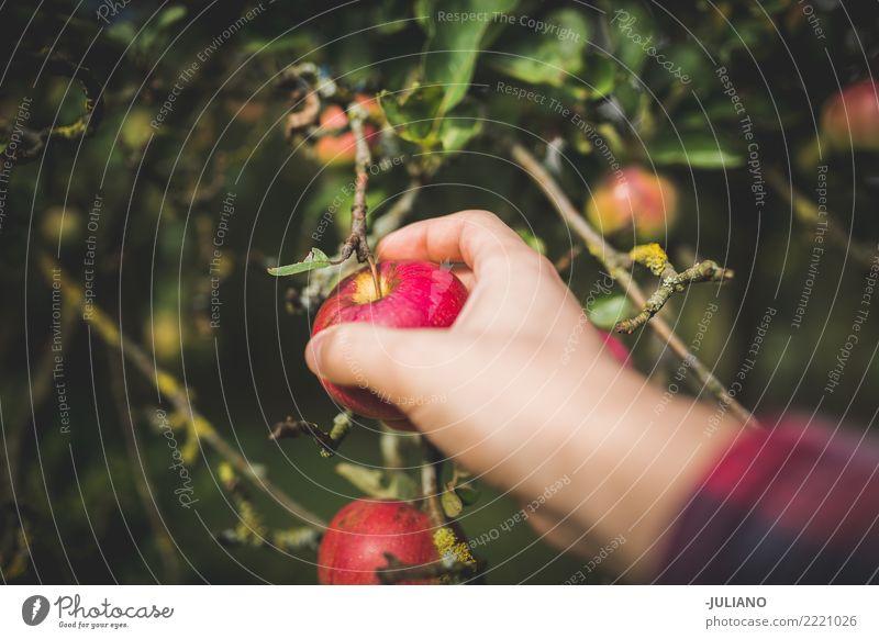 Abschluss oben von den Händen, die Apfel auswählen Lebensmittel Frucht Lifestyle Gesundheit Gesunde Ernährung Umwelt Natur Pflanze Erde Baum Garten Park Diät