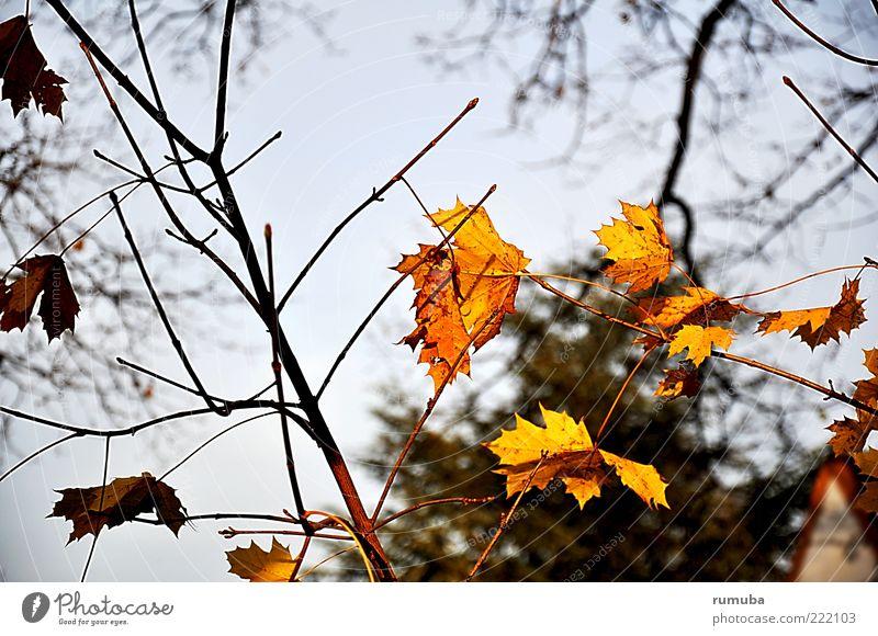 Herbst-Melancholie Natur Himmel Schönes Wetter verblüht blau gelb demütig Ast Blatt Farbfoto Außenaufnahme Zweig Herbstfärbung herbstlich Menschenleer