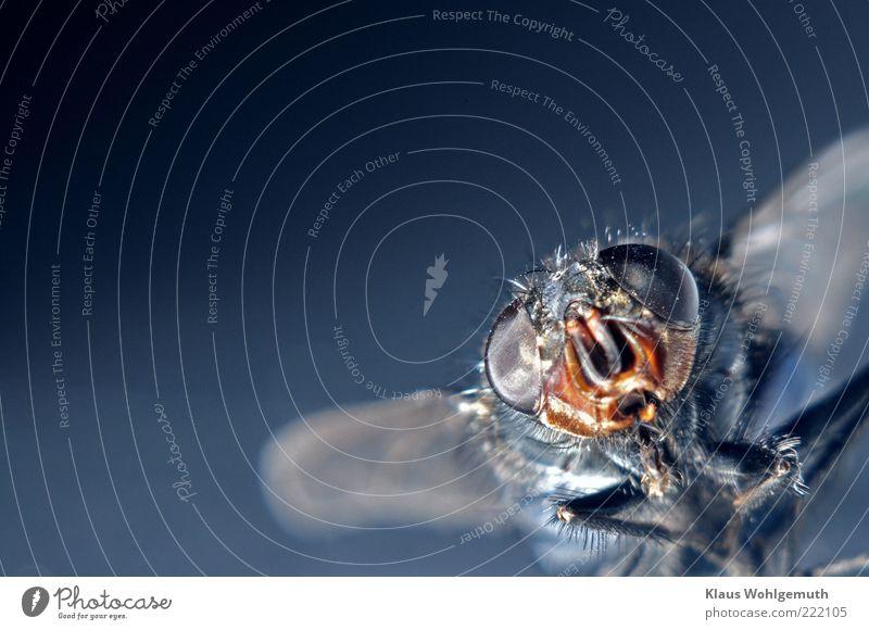 Pure Neugier Umwelt Natur Tier Fliege Tiergesicht 1 entdecken Blick blau Flügel Beine Nebenaugen Facettenauge Imago Farbfoto Innenaufnahme Studioaufnahme