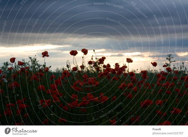 Mohn und Himmel Landschaft Wolken Sommer Blüte Feld Blühend ästhetisch natürlich schön Horizont Natur Stimmung Farbfoto Abend traumhaft Außenaufnahme