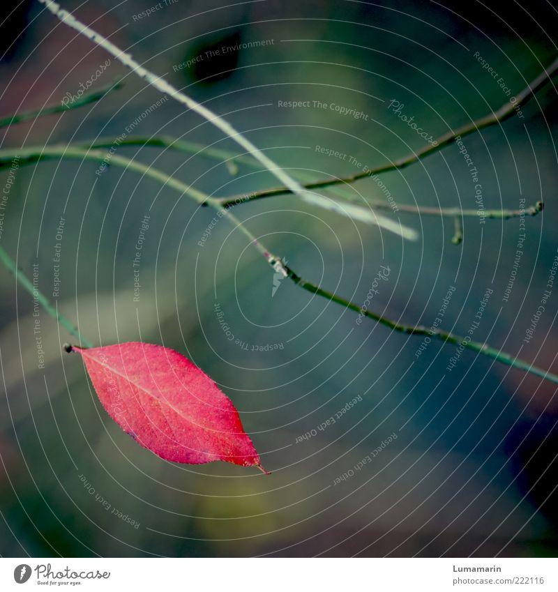 Abschiedskuss Natur schön Pflanze rot Blatt Einsamkeit Farbe dunkel kalt Herbst Stimmung Umwelt nah Wandel & Veränderung einfach Vergänglichkeit