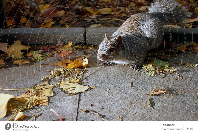 Ratte oder was?? Natur Tier grau Wege & Pfade authentisch Fell Wildtier dick Appetit & Hunger Stress frech Schüchternheit hocken Krallen Herbstlaub Eichhörnchen