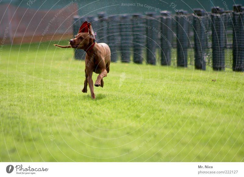 sprinter Tier Wiese Gras Glück Bewegung Hund braun laufen rennen Geschwindigkeit Aktion Ohr Fell Haustier Pfote Schwanz