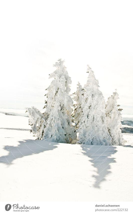 neulich am Feldberg Winter Schnee Umwelt Natur Landschaft Klima Schönes Wetter Eis Frost Baum Hügel hell weiß Tanne Schwarzwald Gedeckte Farben
