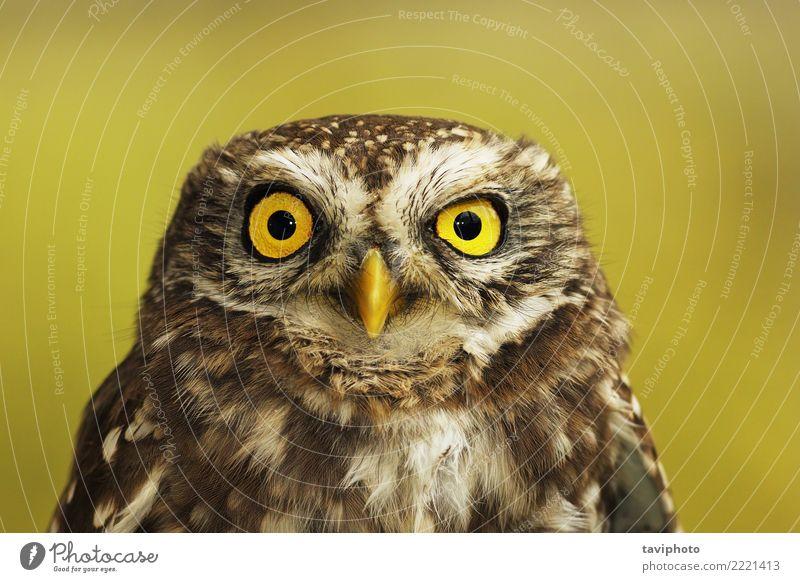 Porträt von Steinkauz schön Gesicht Natur Landschaft Tier Wald Vogel klein niedlich wild braun gelb grün Weisheit Farbe athen Noctua Waldohreule weise
