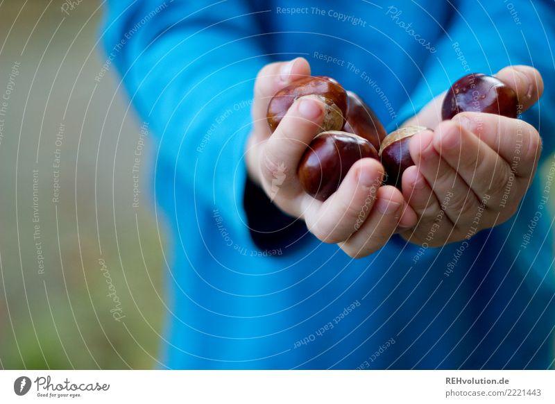 Kastanien Freizeit & Hobby Spielen Kind Kleinkind Junge Hand 1 Mensch 1-3 Jahre Umwelt Natur Herbst Kastanienbaum festhalten authentisch natürlich Neugier blau