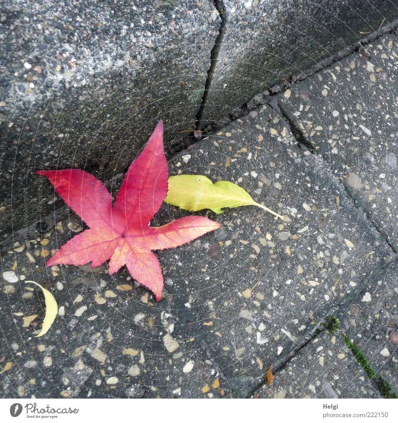 Herbstfarben... Umwelt Natur Pflanze Blatt Verkehrswege Straße alt liegen dehydrieren ästhetisch eckig einfach schön natürlich trist trocken gelb grau rot