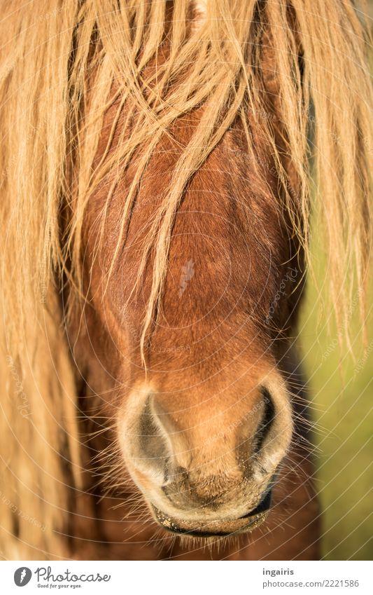 Pony so oder so Natur Tier Sommer Nutztier Pferd Tiergesicht Island Ponys 1 Blick Freundlichkeit hell schön wild Stimmung Zufriedenheit Vertrauen Sympathie