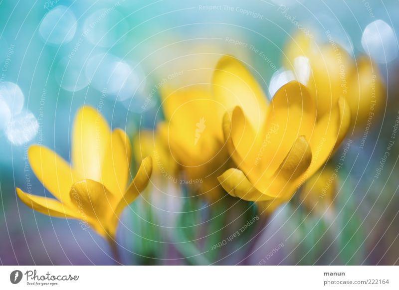 gelbe Krokusse Natur Pflanze schön Blume Blatt Frühling Blüte außergewöhnlich glänzend frisch Blühend Kitsch Blütenblatt Frühlingsgefühle