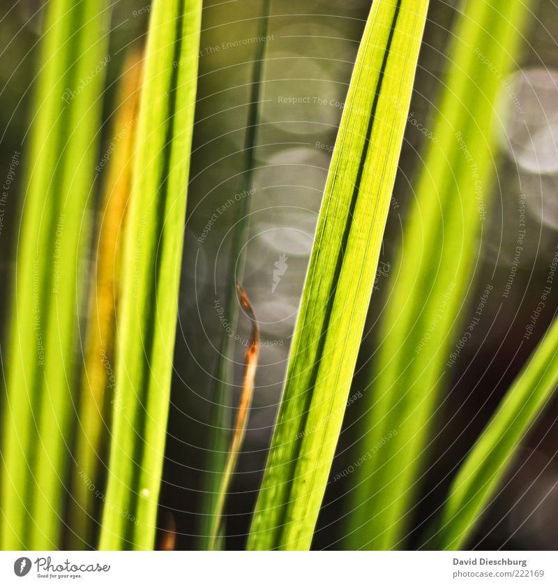 Wiese im Gegenlicht Natur Pflanze Gras Grünpflanze grau Halm Linie hell dunkel hellgrün Kreis sommerlich Tiefenschärfe Warme Farbe Warmes Licht Farbfoto