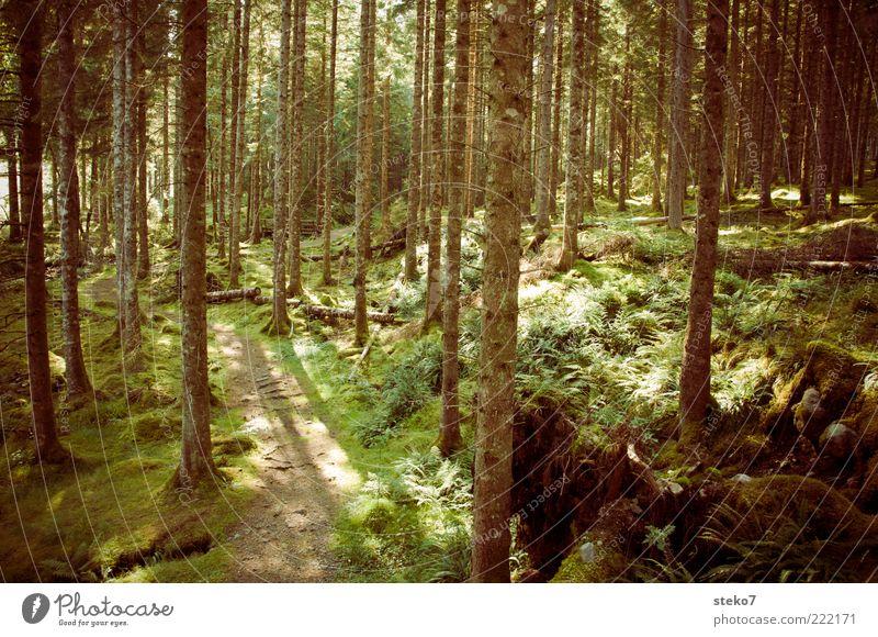 Hensel sucht Gretel Sonnenlicht Moos Wald braun grün Einsamkeit ruhig Schottland Wege & Pfade ursprünglich Nadelwald Gedeckte Farben Außenaufnahme Menschenleer