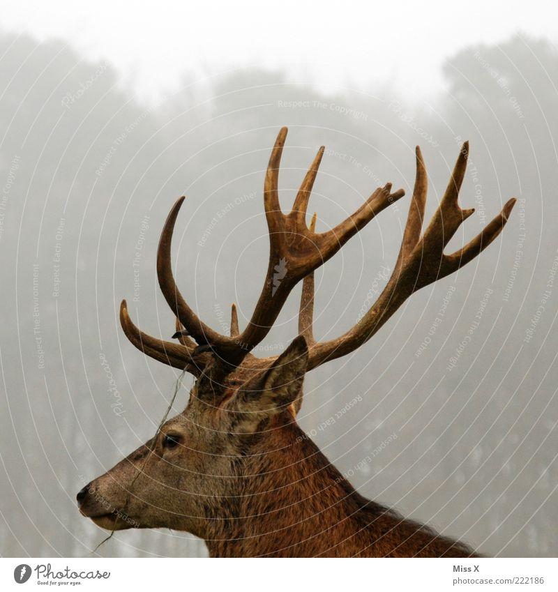 Hirsch Tier Kopf Nebel groß Wildtier Horn Stolz Hirsche Licht Hirschkopf