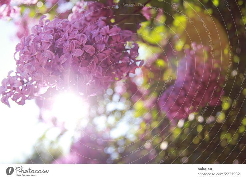 Hübsches lila Rosa Natur Himmel Sonne Sonnenlicht Frühling Pflanze Blume Blatt Blüte Garten glänzend Wachstum frisch neu mehrfarbig rosa Fliederbusch
