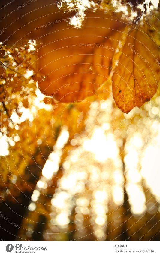 morgenstund Natur Baum Pflanze ruhig Blatt gelb Wald Herbst Stimmung braun orange Umwelt Klima Vergänglichkeit Verfall vertrocknet