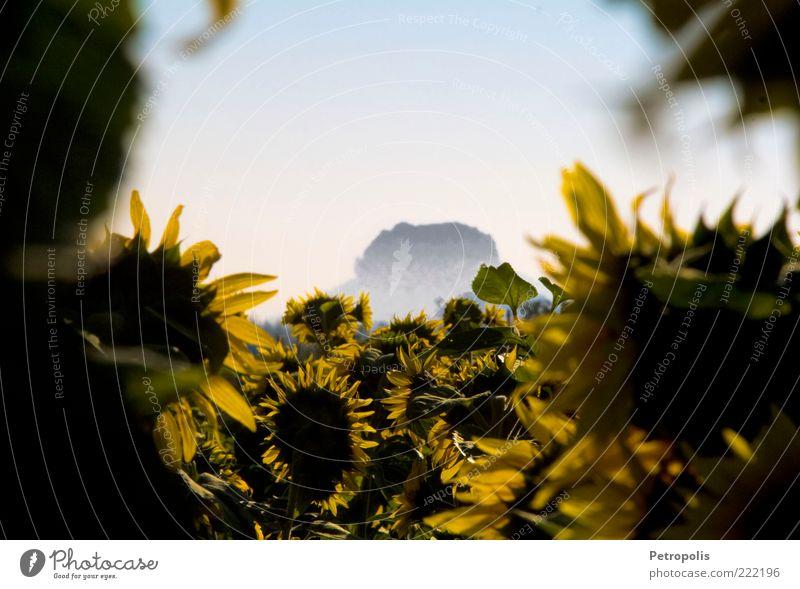 Lilienstein Sächsische Schweiz Elbsandsteingebirge Sachsen Pirna Berge u. Gebirge Nebel Sonnenblume Sonnenblumenfeld Sommer Pflanze Feld gelb grün blau Morgen