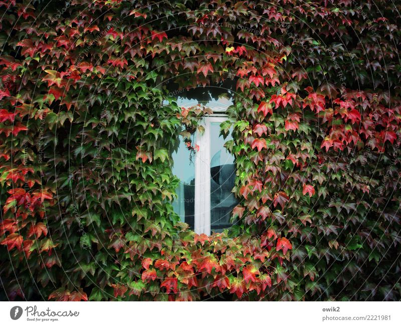 Wärmedämmung Herbst Schönes Wetter Blatt Nutzpflanze Efeu Ranke Kletterpflanzen Haus Gebäude Fassade Fenster Holz Glas Wachstum alt kaputt Vergänglichkeit