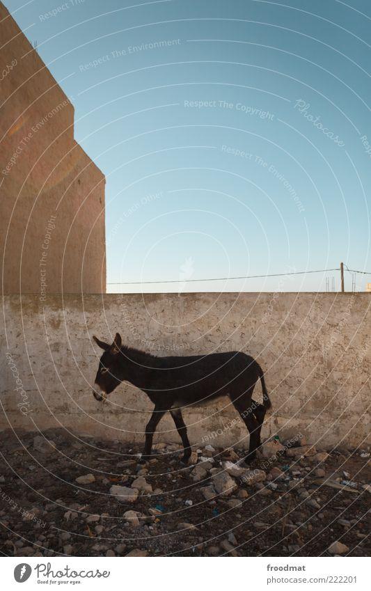 arbeitstier Einsamkeit Tier Mauer gehen Armut wandern Fassade trist Pause stehen Afrika verstecken Blauer Himmel Hinterhof Schönes Wetter Esel