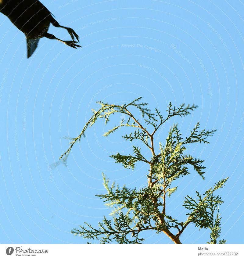 Und weg Umwelt Natur Himmel Pflanze Grünpflanze Konifere Lebensbaum Zypresse Tier Vogel Krallen Krähe Tierfuß 1 Bewegung fliegen frei natürlich blau grün Angst