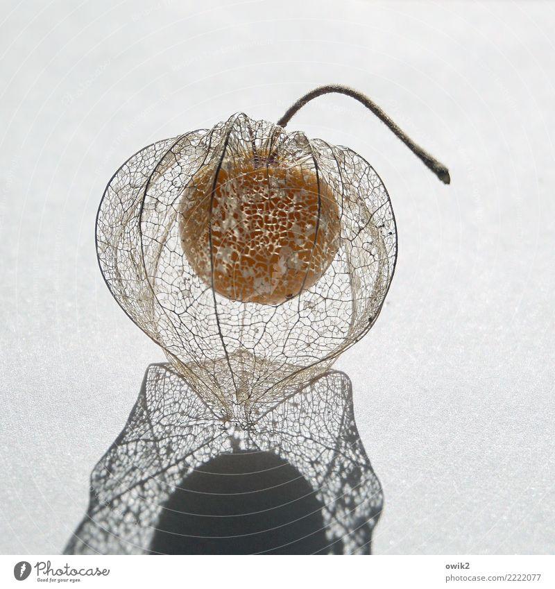 Halbseiden Natur Pflanze Gesundheit Frucht authentisch lecker dünn Stengel durchsichtig verstecken reif Vitamin Hülle verpackt fruchtig dehydrieren