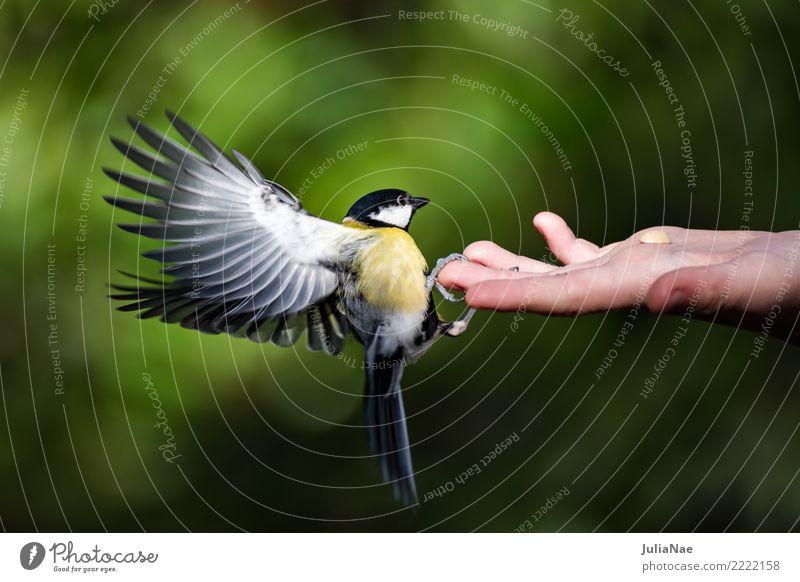 Kohlmeise landet auf einer Hand Meisen füttern Futter Vogel fliegen Tier Singvögel Schnabel Feder Winter Natur landen Wildtier wild wildlife