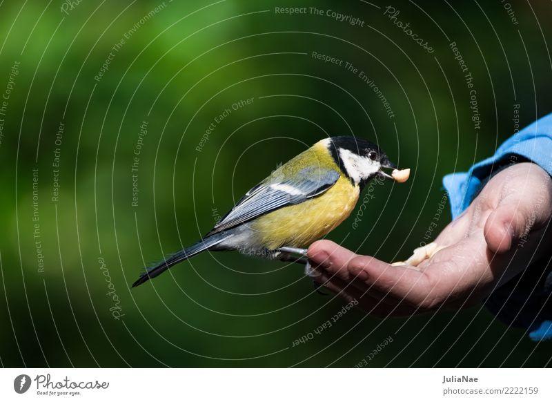 Kohlmeise sitzt auf einer Hand mit Futter Natur Tier Winter Vogel fliegen wild Wildtier Feder Landen Schnabel füttern Singvögel Meisen