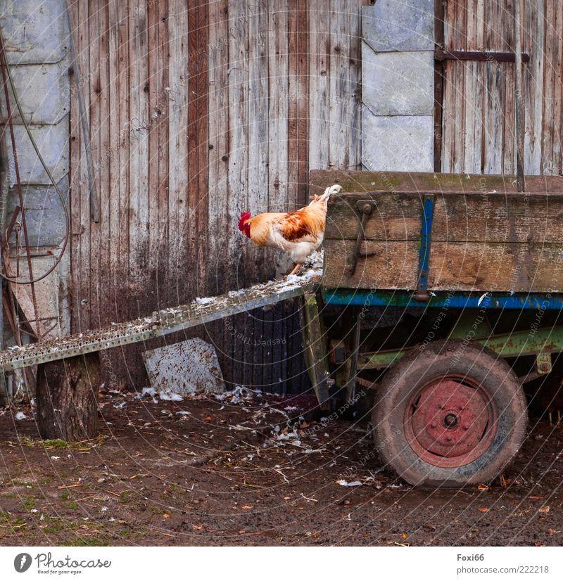 auf der Suche.... schlechtes Wetter bevölkert Gebäude Mauer Wand Verkehrsmittel Anhänger Nutztier 1 Tier Holz beobachten füttern warten dreckig lustig natürlich