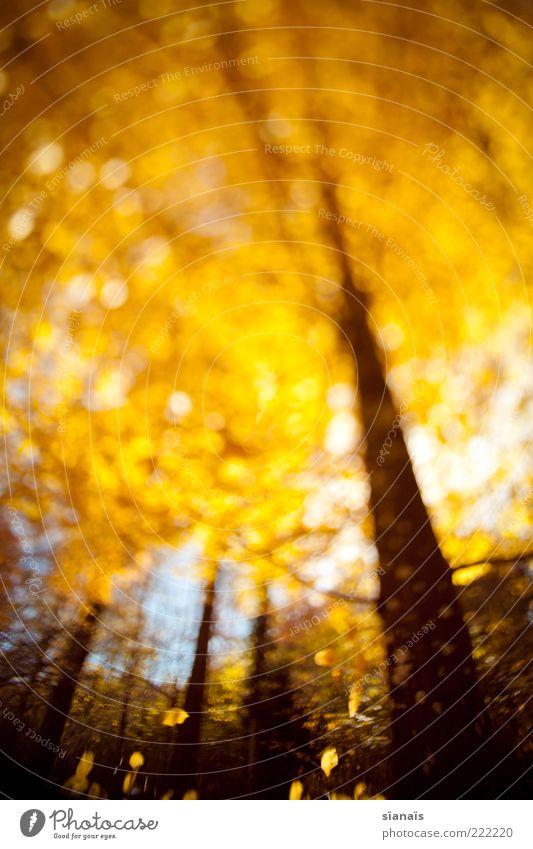 goldener schnitt Natur Baum Pflanze Wald Herbst Umwelt gold fallen leuchten Baumstamm Baumkrone Herbstlaub welk Laubbaum herbstlich Experiment
