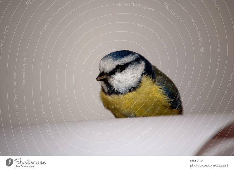 Besuch Tier Wildtier Vogel 1 blau mehrfarbig gelb grau weiß schön achtsam Wachsamkeit ruhig Erschöpfung Neugier Farbfoto Innenaufnahme Nahaufnahme Menschenleer