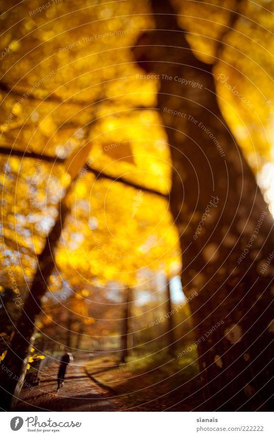 morgenspaziergang Mensch maskulin Leben 1 Umwelt Natur Pflanze Herbst Baum leuchten gold Idylle Verfall Herbstlaub herbstlich Herbstfärbung goldgelb Baumstamm