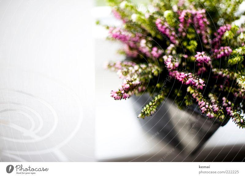 Erika im Topf Pflanze Blume Blüte hell Wachstum Dekoration & Verzierung Häusliches Leben Blühend Gardine Anschnitt Bildausschnitt Blumentopf Fensterbrett