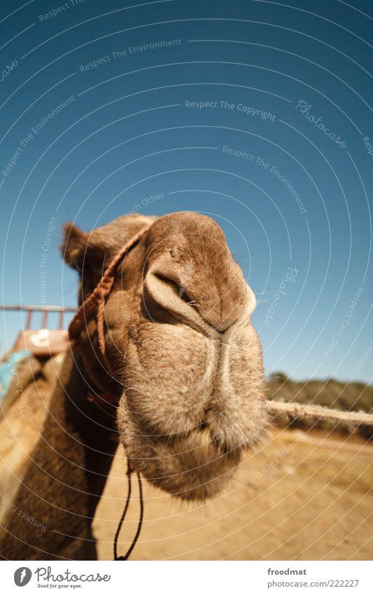 dromedaradar Sommer Schönes Wetter Tier Nutztier Tiergesicht 1 Lächeln warten Freundlichkeit lustig trocken Verlässlichkeit Gelassenheit ruhig Ausdauer