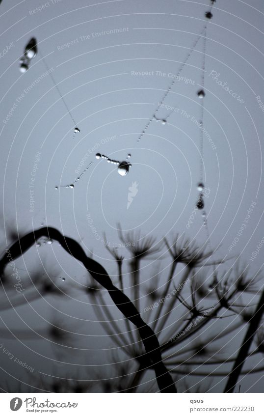 Drahtzieher? Pflanze Herbst Regen Nebel Wassertropfen Netz Tropfen Tau schlechtes Wetter filigran Spinnennetz elastisch Spinngewebe Gewöhnliche Schafgarbe