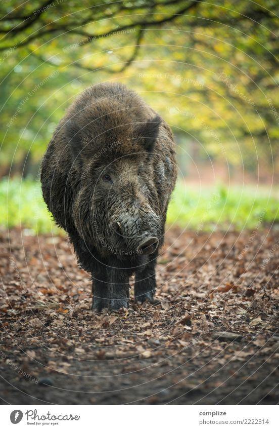 wildes Schwein Lebensmittel Fleisch Ernährung Umwelt Natur Wetter Pflanze Baum Wald Tier Nutztier Wildtier Idylle Wildfleisch Wildschwein Herbst Herbstwald
