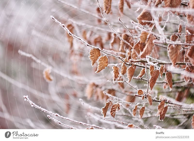 first frost Natur Pflanze weiß Landschaft Blatt Winter kalt Schnee Garten braun Eis Frost Zweig gefroren Herbstlaub frieren