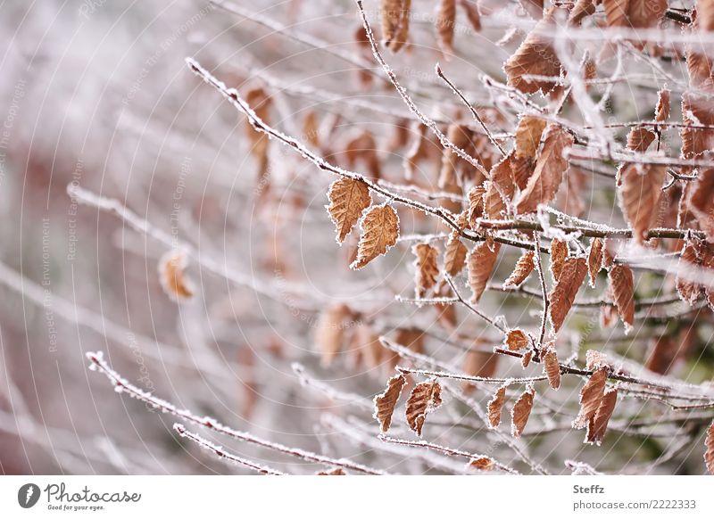 first frost Umwelt Natur Winter Eis Frost Schnee Pflanze Blatt Herbstlaub Zweige u. Äste Hecke Garten frieren kalt braun weiß Winterstimmung Raureif gefroren