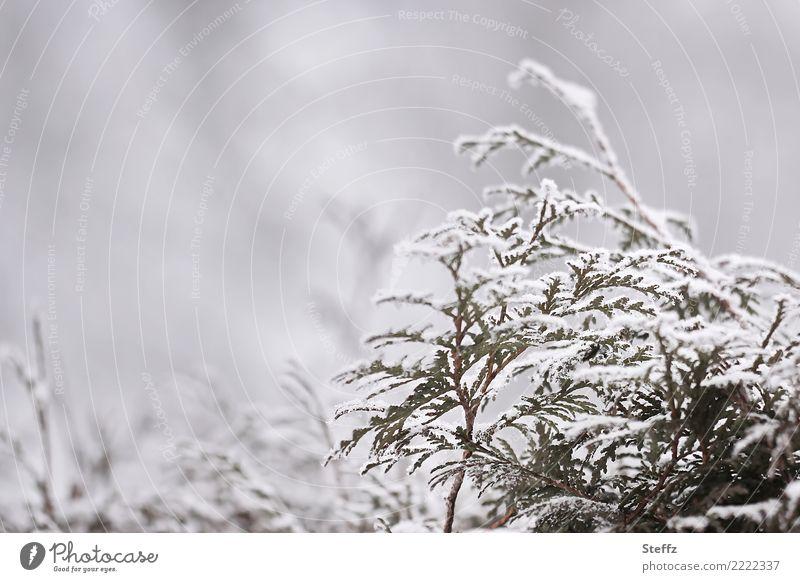 Winterzweige Natur Pflanze Wetter Nebel Eis Frost Schnee Schneefall Grünpflanze Zweig Zweige u. Äste Hecke frieren kalt trist grau weiß Winterstimmung