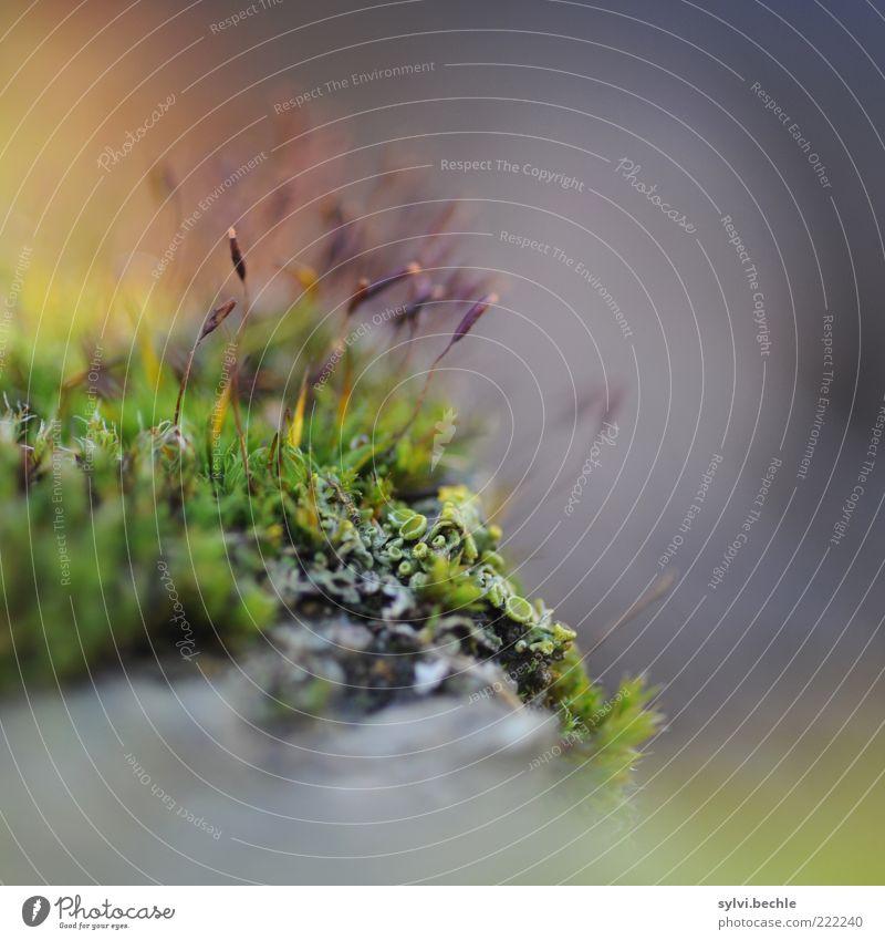 ohne moos nix los Umwelt Natur Pflanze Moos Stein blau grau grün violett emporragend Wachstum Außenaufnahme Nahaufnahme Makroaufnahme Textfreiraum rechts