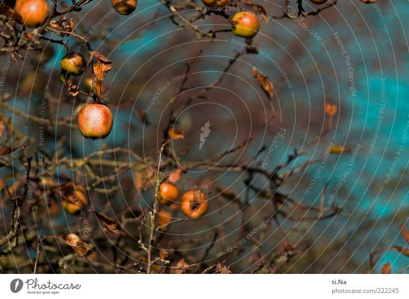 Gartenapfelbaum Apfel Umwelt Natur Herbst Pflanze Baum Nutzpflanze Apfelbaum hängen authentisch saftig blau braun gelb Farbfoto Außenaufnahme Menschenleer Tag