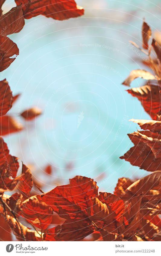 Herbstfenster Natur Himmel blau Pflanze Blatt braun Umwelt Wetter Wandel & Veränderung trocken Jahreszeiten Rahmen Herbstlaub welk Buche
