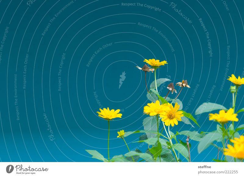ICH WILL SOMMER Natur blau Pflanze Blume Sommer gelb Blüte Frühling Umwelt Blühend Blauer Himmel Schönes Wetter mehrfarbig Wolkenloser Himmel Klarer Himmel Vor hellem Hintergrund