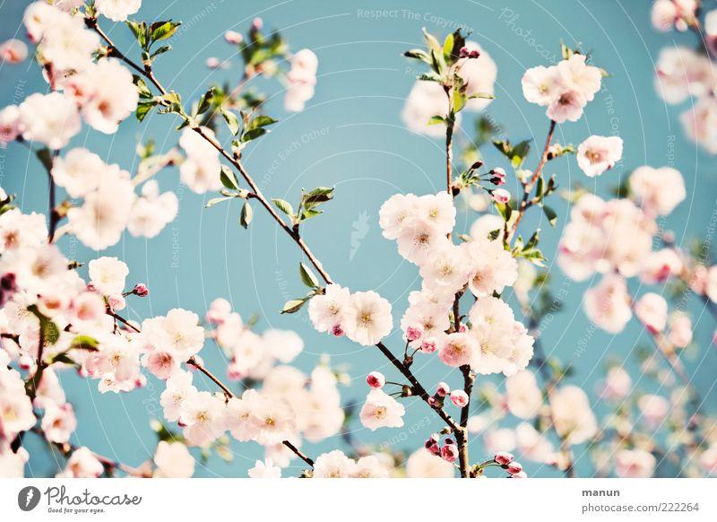 Japanese style Natur Wolkenloser Himmel Frühling Blatt Blüte Kirschblüten Zierkirsche Frühlingsfarbe Frühlingsgefühle Blühend Duft authentisch fantastisch hell