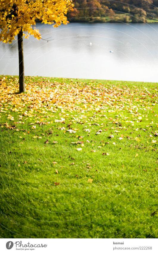 Gelbes Blätterinferno Umwelt Natur Landschaft Pflanze Wasser Sonnenlicht Herbst Klima Schönes Wetter Baum Blatt Grünpflanze Baumstamm Park Seeufer Teich Blühend