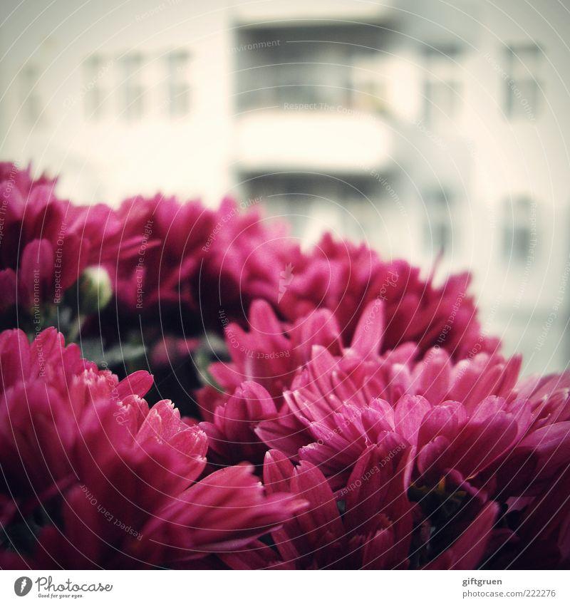 sommer auf balkonien I Pflanze Blume Blüte Haus Bauwerk Gebäude Mauer Wand Fassade Balkon Fenster Blühend Wachstum Duft frisch Altbau Fensterkreuz Aussicht