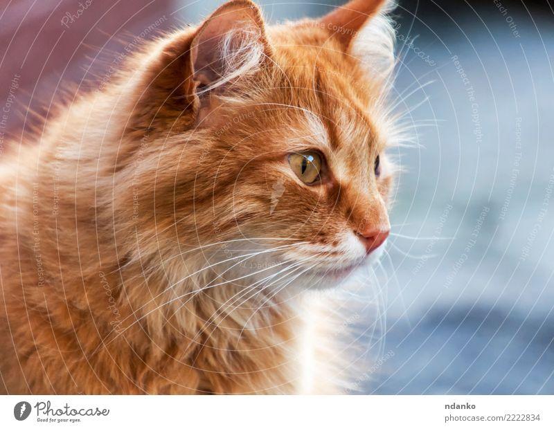 Porträt einer roten Katze Freude Natur Tier Haustier 1 lustig niedlich Tierliebe Gelassenheit Hintergrund orange jung hübsch Körperhaltung heimisch Säugetier