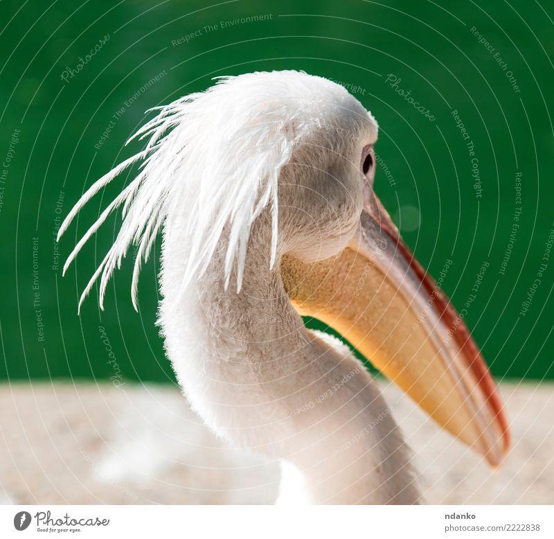 Porträt eines weißen Pelikans Sommer Natur Tier Park Teich See Vogel 1 wild grün Kopf Prima Beautyfotografie Hintergrund Wasser Auge Tierwelt Farbfoto