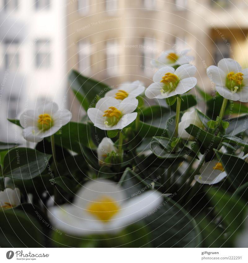 sommer auf balkonien II Sommer Pflanze Blume Blatt Blüte Topfpflanze Haus Bauwerk Gebäude Mauer Wand Fassade Fenster Blühend Wachstum grün weiß Balkonpflanze