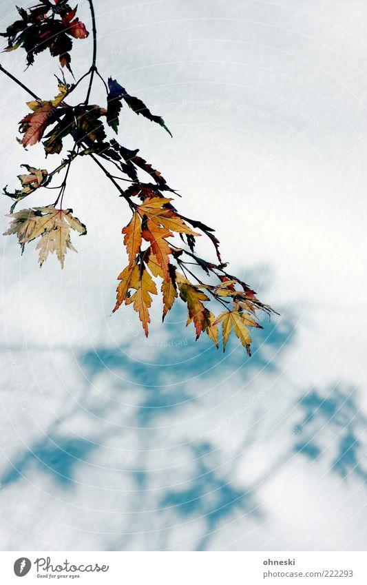 Schattenwurf Natur Blatt Herbst Fassade Schönes Wetter Herbstlaub Zweige u. Äste
