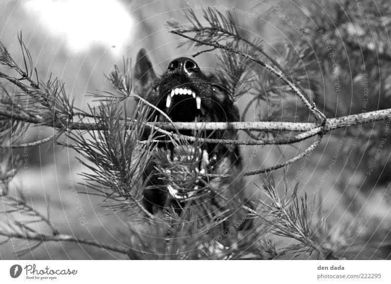 ..der will nur spielen Hund Tier dunkel Leben Bewegung springen Kraft Nase verrückt Macht bedrohlich Gebiss fest fangen Mut Wachsamkeit