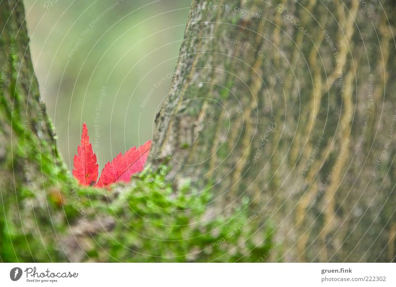 Versteckspiel ;-) Natur Pflanze Herbst Baum Blatt braun grün rot schön Überraschung Vergänglichkeit Ahornblatt Moos Baumrinde Farbfoto Außenaufnahme