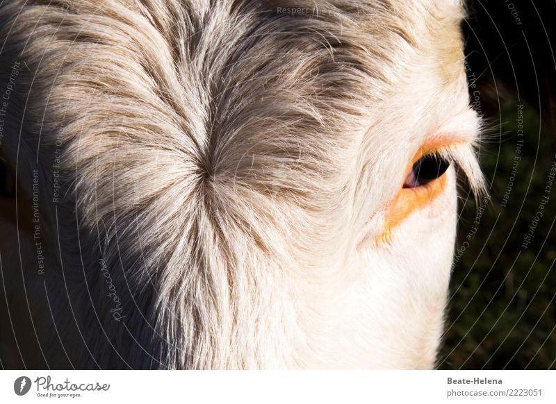 Du hast die Haare schön Haare & Frisuren ruhig Meditation Pelzmantel weißhaarig Tier Haustier Kuh Tiergesicht Denken Blick warten ästhetisch authentisch